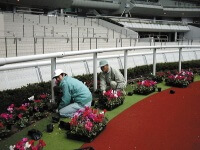 Planting cyclamen in the paddock)
